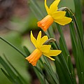 Blooming Daffodils by Maria Urso