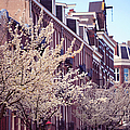 Blooming Decoration Of The Streets. Pink Spring In Amsterdam by Jenny Rainbow