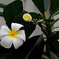Blooming Frangipani Flower Alongside Bud by Imran Ahmed
