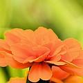 Blooming Marigold by Maria Urso