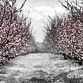 Blooming Peach Orchard by Elena Elisseeva