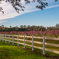Blooming Peach Tree's At Boone Hall by Dale Powell