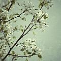 Blooming Pear Tree by Birgit Tyrrell