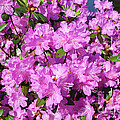 Blooming Pink Azaleas by Luther Fine Art