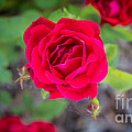 Blooming Rose by Andrew Slater