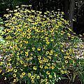 Blooming Rudbeckia Bush by MTBobbins Photography