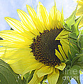 Blooming Sunflower by Dora Sofia Caputo Photographic Design and Fine Art
