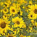Blooming Sunflower by Heiko Koehrer-Wagner