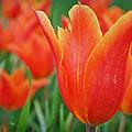 Blooming Tulips by Priyank Vora