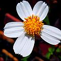 Blooming White