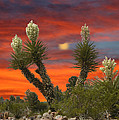 Full Blooming Yucca by Jack Pumphrey