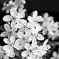 Blossom In Black And White by Robert Camp