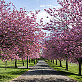Blossom Lined Walk by Ross G Strachan