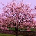 Blossoming Almond Tree  by Eric  Schiabor