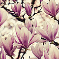 Blossoming Of Magnolia Flowers In Spring Time by TouTouke A Y