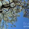 Blossoming White Magnolia Tree Against Blue Sky by Kerstin Ivarsson