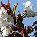 Blossoms 2 by Carol Lynch