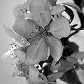 Blossoms 2013 Monochrome by Beth Akerman