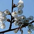 Blossoms  by Carol Lynch