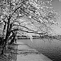 Blossoms In Bw by Kimberly  Powell