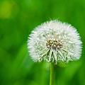 Blowball Of Dandelion - Featured 3 by Alexander Senin