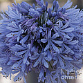 Blue Agapanthus by Luv Photography