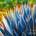 Blue Agave by Tim Gilliland