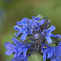 Blue Ajuga by Lee Craig