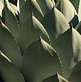 Blue Aloe by Ellen Henneke