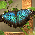 Blue And Black Butterfly by Jeremy Hayden