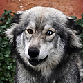 Blue And Brown Eyed Husky by Doc Braham