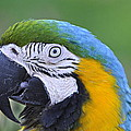 Blue And Gold Macaw by AJ  Schibig
