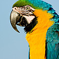 Blue And Gold Macaw by Anthony Mercieca
