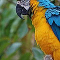Blue And Gold Macaw by DejaVu Designs
