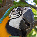 Blue And Gold Macaw by Heather Coen