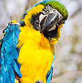 Blue And Gold Macaw Parrot by Imagery by Charly