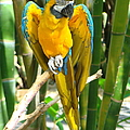 Blue And Gold Macaw by Phyllis Beiser