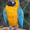 Blue And Gold Macaw by Richard Bryce and Family