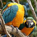Blue And Gold Macaws by Henrik Lehnerer