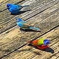 Blue And Indigo Buntings - Three Little Buntings by Rebecca Korpita