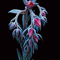 Blue And Pink Succulent by Robert Woodward