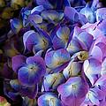 Blue And Purple Hydrangeas by Scott Hill