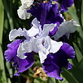 Blue And White Iris by Christiane Schulze Art And Photography
