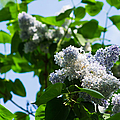 Blue And White Lilacs by Alexander Senin