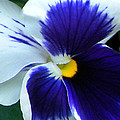 Blue And White Pansy by Brenda Parent