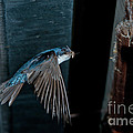 Blue And White Swallow by Anthony Mercieca
