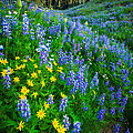 Blue And Yellow Hillside by Inge Johnsson