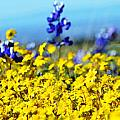 Blue And Yellow Wildflowers by Holly Blunkall