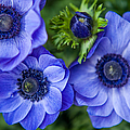 Blue Anemones. Flowers Of Holland by Jenny Rainbow