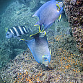 Blue Angelfish Feeding On Coral by Michael Wood